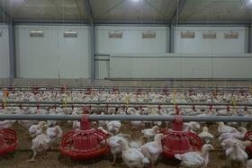 깔짚 질면 닭발바닥 염증 증가