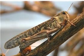 풀무치, 열번째 식용곤충 인정